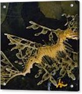 Several Views Of The Leafy Sea Dragon Acrylic Print by Paul Zahl