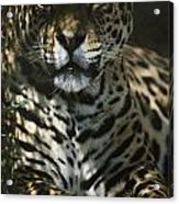 Shadows Flicker Over A Jaguar Panthera Acrylic Print by Hope Ryden