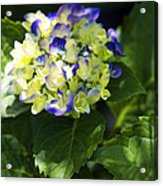 Shadowy Purple And White Emerging Hydrangea Acrylic Print