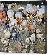 Shaggy Mouse Nudibranchs Acrylic Print