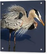 Shaking Out My Tail Feathers Acrylic Print