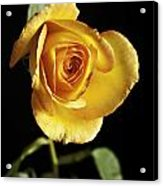 Sharp Yellow Rose On Black Acrylic Print