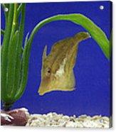 Sharpnose Puffer Fish Acrylic Print by Chris Martin-bahr