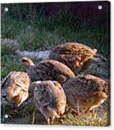 Sharptail Grouse Acrylic Print