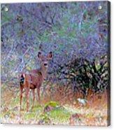 Shasta County Deer  Acrylic Print