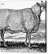 Sheep, C1800 Acrylic Print