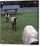 Sheep Feed Time Acrylic Print