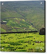 Sheep Graze In A Pasture In Swaledale Acrylic Print