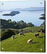 Sheep Grazing By Lough Corrib Cong Acrylic Print