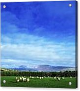 Sheep Grazing In Field County Wicklow Acrylic Print