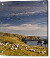 Sheep Grazing In Headland Acrylic Print