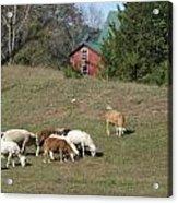 Sheep Grazing Acrylic Print