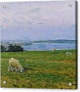 Sheep Grazing Acrylic Print