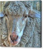 Sheep Acrylic Print by Imagevixen Photography