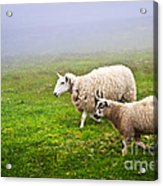 Sheep In Misty Meadow Acrylic Print