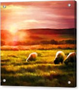 Sheep In Sunset Acrylic Print by Suni Roveto