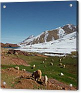 Sheep In The Atlas Mountains 02 Acrylic Print