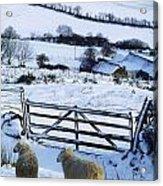 Sheep, Ireland Sheep And A Farm During Acrylic Print