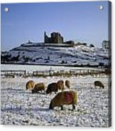 Sheep On A Snow Covered Landscape In Acrylic Print