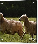 Sheep On The Move Acrylic Print
