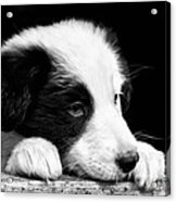 Sheepdog Puppy Looking Out Acrylic Print by Rory Trappe