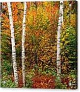 Shelburne Birches 2 Acrylic Print