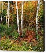 Shelburne Birches Acrylic Print