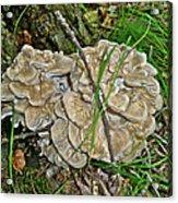 Shelf Fungus - Grifola Frondosa Acrylic Print