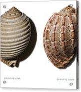 Shell Line Systems Acrylic Print