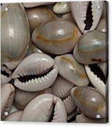 Shell Sigay 1 Acrylic Print