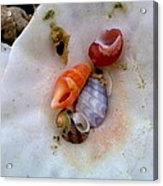 Shells In A Shell Acrylic Print