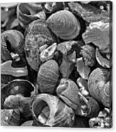 Shells V Acrylic Print