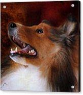 Sheltie II Acrylic Print