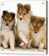 Sheltie Puppies Acrylic Print by Jane Burton