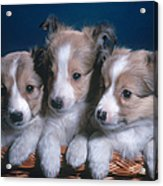 Sheltie Puppies Acrylic Print by Photo Researchers, Inc.
