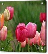 Sherbert Color Tulips Acrylic Print