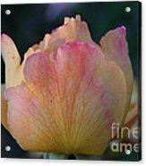 Sherbert Rose Bud Acrylic Print