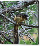 Shermans Fox Squirrel Acrylic Print