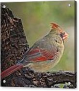 Shes An Early Bird  New Version Acrylic Print