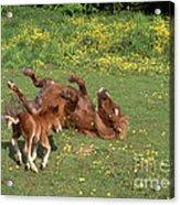 Shetland Pony And Foal Playing Acrylic Print