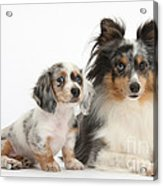 Shetland Sheepdog And Dachshund Puppy Acrylic Print