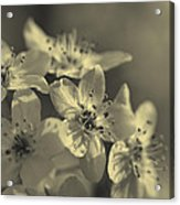 Shimmering Callery Pear Blossoms Acrylic Print