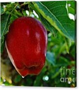 Shiny Red And Ripe  Acrylic Print