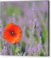 Shirley Poppy In English Lavender Field, Valensole, Valensole Plateau, Alpes-de-haute-provence, Provence-alpes-cote D Azur, Provence, France Acrylic Print