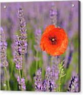 Shirley Poppy In English Lavender, Valensole, Valensole Plateau, Alpes-de-haute-provence, Provence-alpes-cote D Azur, Provence, France Acrylic Print