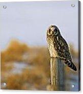 Short-eared Owl, Alberta, Canada Acrylic Print