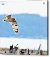 Short Eared Owl Hunting Acrylic Print