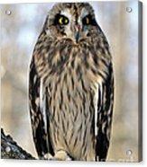 Short-eared Owl Acrylic Print