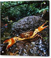 Short-tailed Crab Potamocarcinus Sp Acrylic Print