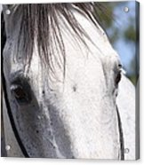 Show Horse At Mule Days Acrylic Print